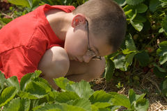 Boy Picking Strawberries. Young boy picking strawberries in a strawberry patch Royalty Free Stock Image