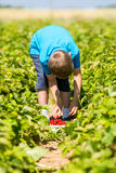 Boy picking strawberries Stock Photography