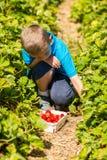 Boy picking strawberries Royalty Free Stock Image