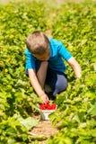 Boy picking strawberries Stock Photo