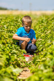 Boy picking strawberries Royalty Free Stock Images