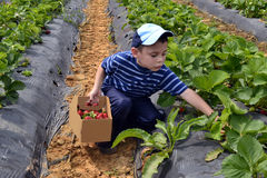 Boy picking strawberries. Portrait of a young boy picking strawberries in a field Stock Photo