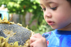 Boy picking sunflower seeds. Young boy picking seeds off the big sunflower, an outdoor setting Stock Photos