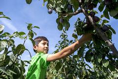 Boy picks plums. Stock Photography