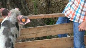 Boy At Pig Farm stock footage
