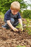 Boy planting tomatoes in garden Stock Images