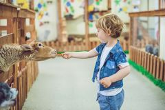 Boy play with the lamb on the farm.  Stock Photo