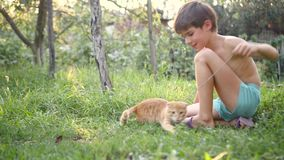 Boy plays with Orange Scottish Fold kitten with a branch, on grass in garden