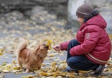 Boy plays with a pekingese and leaf Royalty Free Stock Photos