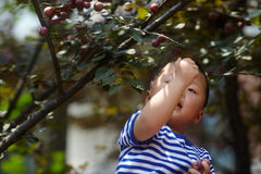 Boy plucking plums. Royalty Free Stock Image