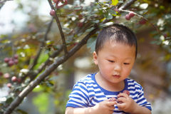 Boy plucking plums. Royalty Free Stock Photo