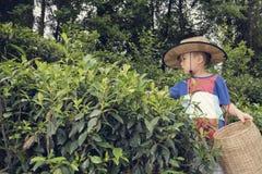 Boy plucking tea leaves Stock Photos