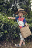 Boy plucking tea leaves Stock Photo