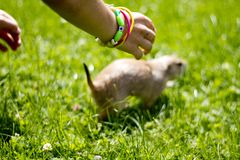 Boy and prairie dog Stock Images