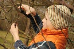 Boy pruning tree Royalty Free Stock Photo