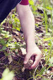 Boy pulling up Morel mushroom. Arm of child hunting mushrooms, and picking a Morel Stock Image
