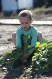 The boy pulls out of the ground a large radish Stock Images