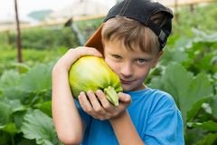 Boy pumpkin in the hands.Harvesting vegetables. stock photo