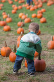 Boy pumpkin picking. Little boy carrying a big heavy pumpkin while pumpkin picking Royalty Free Stock Photo
