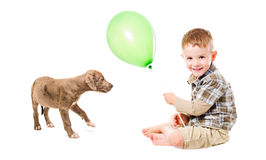 Boy and puppy pitbull. Playing balloon Royalty Free Stock Image