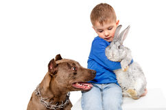 The boy with rabbit and pit bull Royalty Free Stock Images
