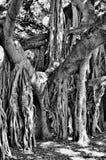 Boy resting in Banyon Tree Stock Image