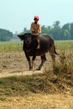 Boy riding a buffalo in Myanmar countryside. Royalty Free Stock Image