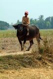 Boy riding a buffalo in Myanmar countryside. Royalty Free Stock Image