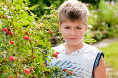 Boy about rosehip with ripe fruits Stock Photo