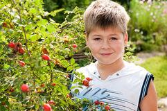 Boy of about rosehip with ripe fruits Stock Image