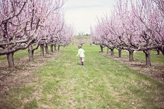 Boy running in Peach orchard Royalty Free Stock Photo