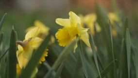 Yellow Daffodils Blooming Time Lapse HD stock footage
