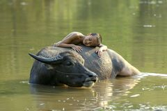 A boy in a rural area of Thailand Sleeping with a buffalo While bathing for his buffalo