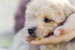 Boy`s hand holding the muzzle of her puppy Royalty Free Stock Photos