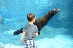 A boy and a sea lion2. A four year old boy watches a sea lion swim by in a large tank Royalty Free Stock Images