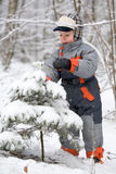 Boy shakes spruce with snow Royalty Free Stock Images