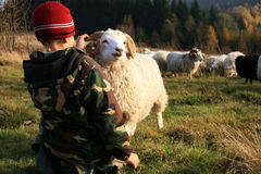 Boy and sheep royalty free stock images