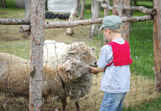 Boy and Sheep at Petting Zoo. A boy in red school bib feeds two sheep through a fence at petting zoo on a on class field trip Royalty Free Stock Images