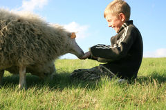 Boy and sheeps. The boy is feeding sheeps on the meadow. Skudde - the most primitive sheep breed in Europe Royalty Free Stock Photography