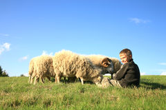 Boy and sheeps. The boy is feeding sheeps on the meadow. Skudde - the most primitive sheep breed in Europe Royalty Free Stock Photo