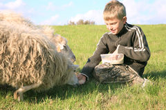 Boy and sheeps. The boy is feeding sheeps on the meadow. Skudde - the most primitive sheep breed in Europe Royalty Free Stock Images