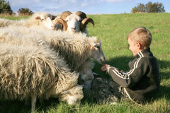 Boy and sheeps Royalty Free Stock Image