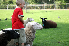 Boy and sheeps. Small boy with herd of sheeps - white and black Royalty Free Stock Photos