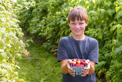Boy showing freshly picked raspberries Royalty Free Stock Images