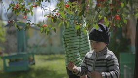 Boy sitting on the tree and collect cherries. stock video