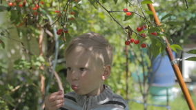Boy sitting on the tree and collect cherries. stock video footage