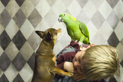 Boy with small dog and parrot. Young boy with a parrot on his back and a small chihuahua dog royalty free stock image