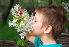 Boy smells cherry or apple tree in blossom Royalty Free Stock Image