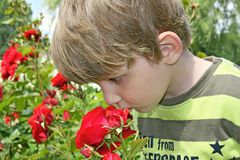 Boy sniffing roses. Stock Images