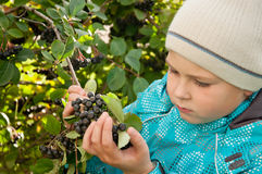 boy with a sprig of Aronia Stock Photography